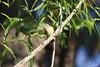 """""""American Redstart"""" """"Setophaga ruticlla"""" (jackhawk9) Tags: americanredstart setophagaruticlla warbler birds wildlife nature jackhawk9 newjersey southjersey usa canon ngc"""