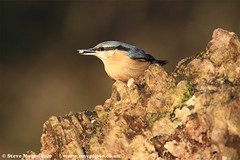 Nuthatch (Steve Moore-Vale) Tags: sitta europaea nuthatch suffolk lackford lakes perched feeding seeds eating stump passerine woodland uk bird wildlife nature