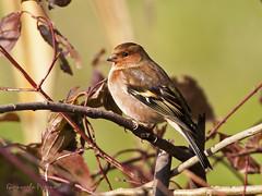 Fringilla coelebs (giancarlo.paganelli47) Tags: fringilla coelebs fringuello maschio common chaffinch male oasi di campotto parco delta del po argenta