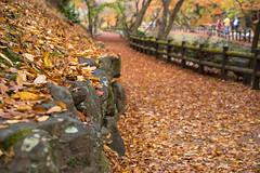 DSC05935 (幻星影) Tags: kyoto 京都 落葉 北野天滿宮