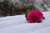 Chilly.. does it? (daniel0027) Tags: roses snow shrimppink inthesnow pathetic coldwinter winter cold chilly pinkroses white