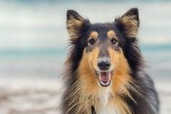 03/52 Leia & true love (shila009) Tags: leia dog smile happy look blue roughcollie tricolor beach portrait retrato playa sand arena sea nikkor natur