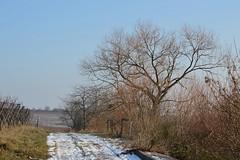 Im Weinberg 10 (fotomänni) Tags: landschaft landscape natur nature naturfotografie naturephotography naturimpressionen natureshots natureimpressions naturephotograps weinberg wingert bäume trees baum tree arbre arbres manfredweis