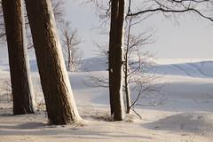 Understanding of Whiteness (Sergei P. Zubkov) Tags: winter snow seashore pines