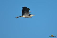 A-LUR_5595 (ornessina) Tags: trasimeno umbria byrd uccelli aironi cormorani toscana va orcia