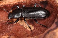 Menephilus cylindricus (chug14) Tags: menephiluscylindricus animalia arthropoda hexapoda insecta coleoptera tenebrionidae tenebrioninae tenebrionini tenebriocylindricus