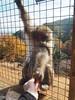 Monkey Park (Laika ac) Tags: arashiyamamonkeypark monkeypark japan kansai kyoto monkey japanesemacaque macaque iwatayamamonkeypark