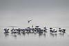 meeting al lago ghiacciato (pamo67) Tags: pamo67 uccelli birds meetingatthefrozenlake gabbiani seagulls ghiaccio ice water acqua ghiacciato lago lake pennuti feathered grigio grey inverno winter riflessi reflections pasqualemozzillo