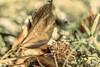 Stay golden (PokemonaDeChroma) Tags: macromondays ivy lierre staygolden grass herbe hmm mm december veins nervure leaf feuille canon eos 6d light day dof 2016 redux2016 sigmamacro150mm golden doré france