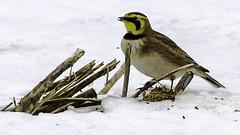 Horned Lark (suzanneellinwood!) Tags: hornedlark birds nature tiverton