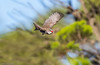 Diamond firetail (Mykel46) Tags: rockleigh southaustralia australia au diamond firetail stagonopleura guttata estrildidae bif birds nature wildlife canon 5dmk4 14xtele 100400mk2 red black