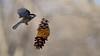 Black-capped Chickadee (mausgabe) Tags: olympus em1 olympusm40150mmf28 olympusmc14 nyc centralpark theramble bird blackcappedchickadee