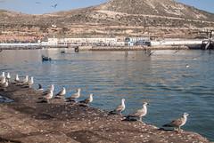 We want fish (Jan Herremans) Tags: morroco agadir seagulls boat fish janherremans