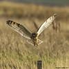 commitment (blackfox wildlife and nature imaging) Tags: canon 80d sigma150600mmossport shortearedowl raptor birdsofprey bif deeestuary wirral