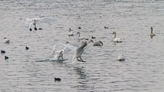 Landing (malioli) Tags: bird animal swan swans fly air sky pics picture photo photography canon croatia hrvatska europe