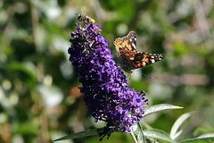 """Hey, this ain't no BEE bush!"" (Jan Nagalski (off for awhile)) Tags: bee flower garden gardenflower paintedlady wings nectar nectaring pollen pollensac purple violet yellow orangeautumn fall denverbotanicgarden denver colorado jannagalski jannagal"