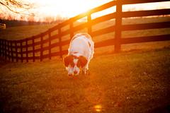 Wrapped in a Sunset (rlgidbiz1) Tags: brittanyspaniel dog pet love orange sunset fence country