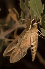 Hyles annei (Patrich Cerpa.) Tags: mariposa hyles annei lepidoptera polilla arica