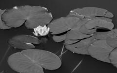 Lily (hazelhouliston) Tags: flower water monochrome lilies