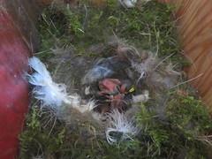BOX 21 2015 (2) (Bathgate Wildlife) Tags: blue west bird nature scotland tit nest box wildlife south progress rail chicks lothian queensferry bathgate