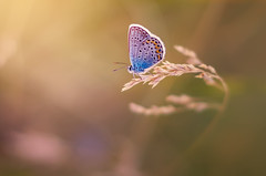 Sunbath (Pásztor András) Tags: blue macro nature beauty field grass butterfly photography nikon hungary moody smooth common andras pasztor d5100