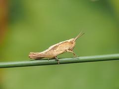 Grasshopper Nymph (bredma) Tags: wild macro nature grass closeup insect stem dof wildlife naturallight olympus handheld grasshopper nymph em1 60mmmacro gropper