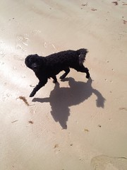 Poodles at Totland Bay, Isle of Wight - July 2015 (Pub Car Park Ninja) Tags: uk toby summer england dog holiday beach poodles dogs michael lucy britain nick july suzy poodle isleofwight gb howells fintan 2015 kalinda totlandbay guiry
