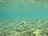 LIH-2910 (Differentialdx) Tags: hawaii kauai keebeach humuhumunukunukuapuaa reeftriggerfish