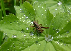 Droplets! (rockwolf) Tags: rain insect droplets cornwall cricket raindrops nymph orthoptera 2015 alchemillamollis ladysmantle pholidopteragriseoaptera rockwolf darkbushcricket herodsfoot
