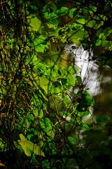 Foliage (nydavid1234) Tags: plants rural countryside newengland greenery marthasvineyard menemsha flanderslane