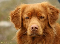 The look (K. Haagestad) Tags: dog animal canine toller novascotiaducktollingretriever