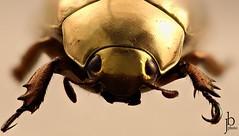 Chrysina resplendens... de face (Jonathan Bartolo) Tags: macro insect gold golden focus beetle stacking insecte scarab doré scarabée focusstacking chrysina resplendens