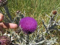 Onopordum illyricum flowerhead1 CWS (Macleay Grass Man) Tags: asteraceae onopordum illyricum taxonomy:binomial=onopordumillyricum illyrian thistle