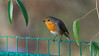 an European Robin on a fence (Franck Zumella) Tags: bird redbreast robin european rouge gorge red