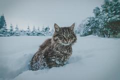 My cute kitten on snow (Vagelis Pikoulas) Tags: cat kitten snow winter january 2016 vilia greece europe december canon 6d tokina 1628mm