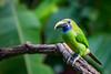 Coming Out to Greet Me (jeff_a_goldberg) Tags: emeraldtoucanet toucan aulacorhynchuscaeruleogularis bluethroatedtoucanet naturalhabitatadventures winter nathab costarica alajuelaprovince cr
