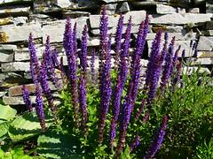 Flowers (stuartcroy) Tags: orkney island flower flowers garden purple green beautiful