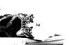 Cassie hanging out monochrome (PDKImages) Tags: cat black ragdoll monochrome pet animal feline blackcat asleep eyes calming