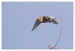 W I F  (waxwing in flight) (cheffievrs) Tags: 1dxmarkii bombycillagarrulus borderfx branch canon ef600mmf4lis highkey nature waxwing wild wildlife