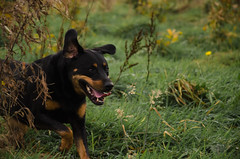 Molly- (Davedub05) Tags: pet hunting running field outdoors animal rotty rottweiler tracking grass set gallop