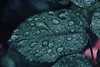 (Jaymi Britten) Tags: brittenphoto leaves leaf rain raindrops rainonleaves romantic rosebush earth environment water nature macronature beauty natural dew dewy morningdew morning