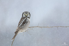 Chouette épervière - Northern hawk-owl - Surnia ulula (Maxime Legare-Vezina) Tags: bird oiseau nature owl wildlife wild animal fauna ornithology biodiversity canon winter hiver snow neige quebec canada