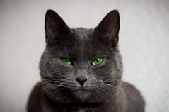 SIVA - Portrait (Aufklatscher) Tags: katze cat hauskatze haustier pet grau grey portrait greeneyes grüneaugen animal cateye katzenaugen tier tiere blick grün green