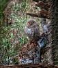Wee Night Hunter (Portraying Life) Tags: unitedstates sonorandesertmuseum arizona owl bird nativelighting handheld display