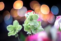IMG_7482 (::Lens a Lot::) Tags: nippon kogaku japan nikkors 55mm f12 1969 | 7 blades iris nikon paris 2016 bokeh depth field color vintage manual classic japanese fixed length prime lens profondeur de champ flower close up macro yellow purpple extérieur wideopen wide open