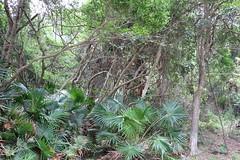 Littoral rainforest with the Cabbage Tree Palm (Livistona australis) (Poytr) Tags: littoralrainforestwiththecabbagetreepalm livistonaaustralis livistona arecaceae sydneyrainforest palm bilgola bilgolabeach littoralarf littoralrainforest arfp nswrfp qrfp vrfp bilgolabends rainforest carpark outdoor landscape forest