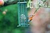 Rouge gorge familier (Mariie76) Tags: animaux oiseaux passereaux arbre hiver pommes pommier branches rougegorge familier erithacus rubecula orange mignon petit mangeoire boule graisse repas miam