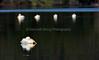 LakeChabot_011417_365 (kwongphotography) Tags: lakechabot castrovalley birds calif americanwhitepelican pelican wildlifephotography nature naturephotography wildlife unitedstates