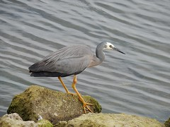 Grey Heron (mikecogh) Tags: glenelg patawalonga algae heron elegant gray grey delicate ripples