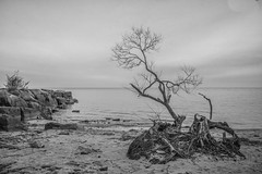Battered, but not beaten (KWPashuk) Tags: nikon d7200 sigma18250mmdcmacro lightroom nikcollection kwpashuk kevinpashuk tree weathered gnarly winter shoreline water lake ontario monochrome nature outdoors beach coronationpark oakville canada